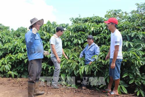 Tín hiệu vui cho xuất khẩu cà phê của Gia Lai